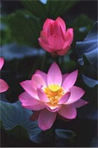 Bloom your own lotus flower in this very moment!